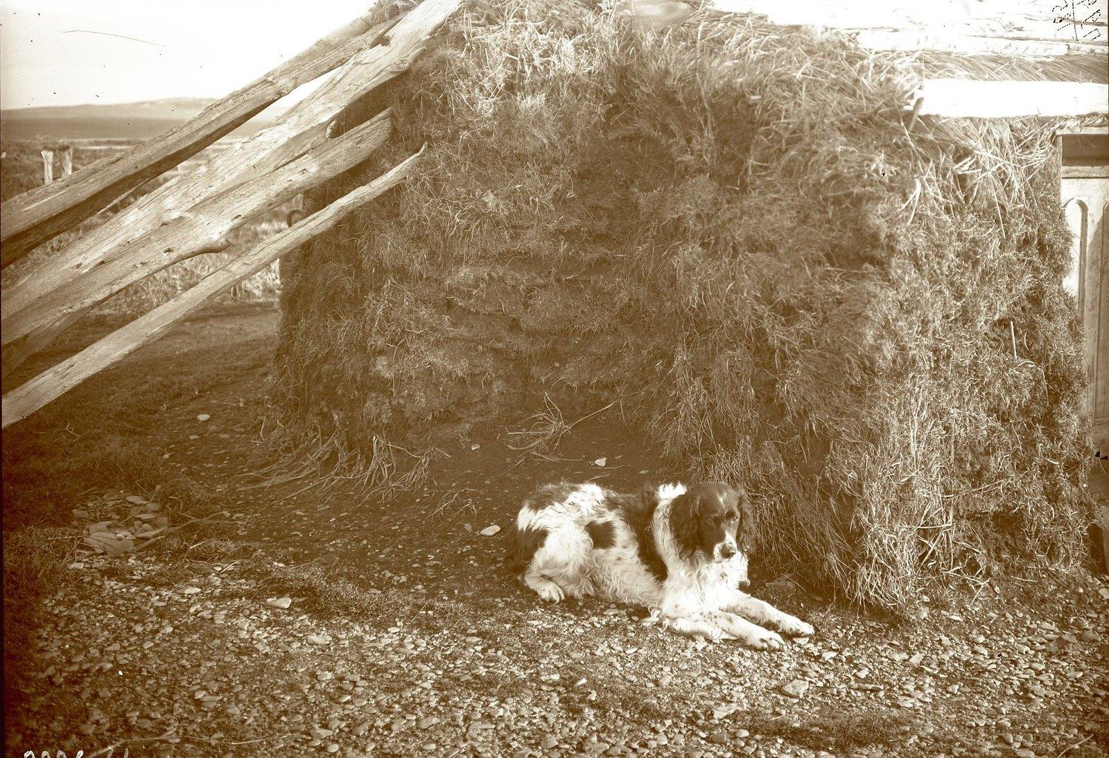 1909. 30 ноября. Алеутская собака. Алеуты. Умнак остров, с. Никольское