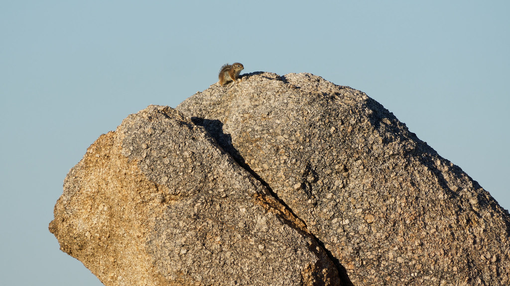 A Harris's antelope squirrel perches on large granite boulders on the Latigo Trail in McDowell Sonoran Preserve in Scottsdale, Arizona on February 7, 2020. Original: _RAC4151.arw