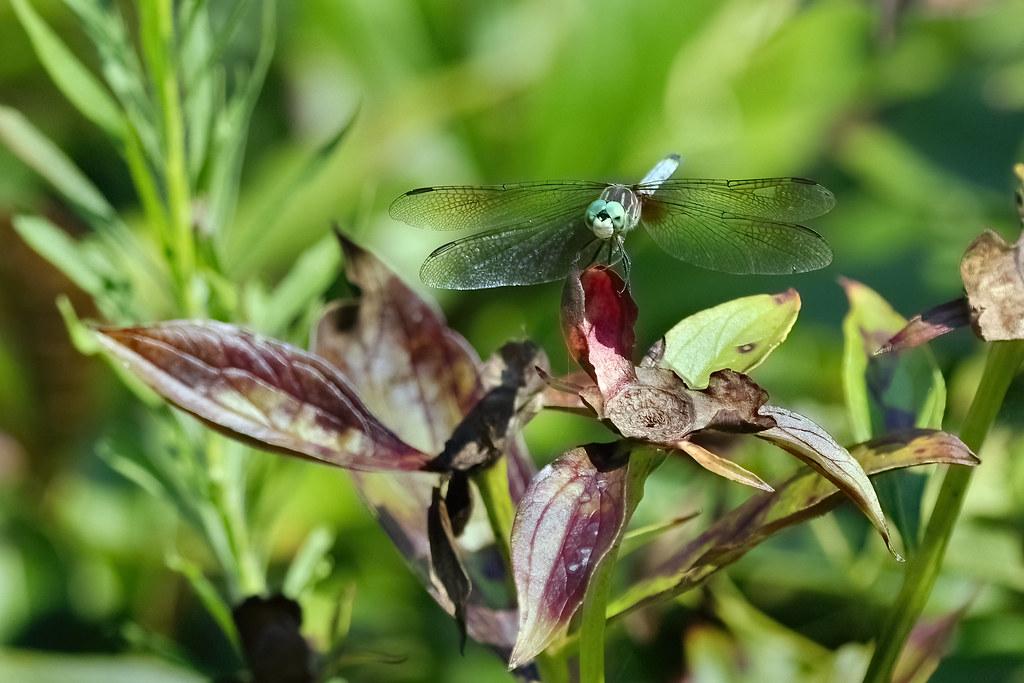 dragonfly23
