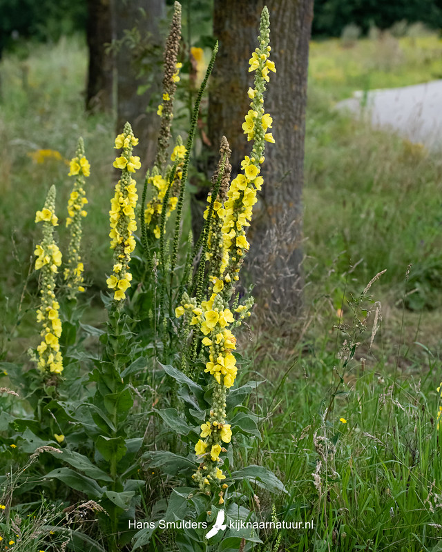 Koningskaars (Verbascum thapsus)-850_4896