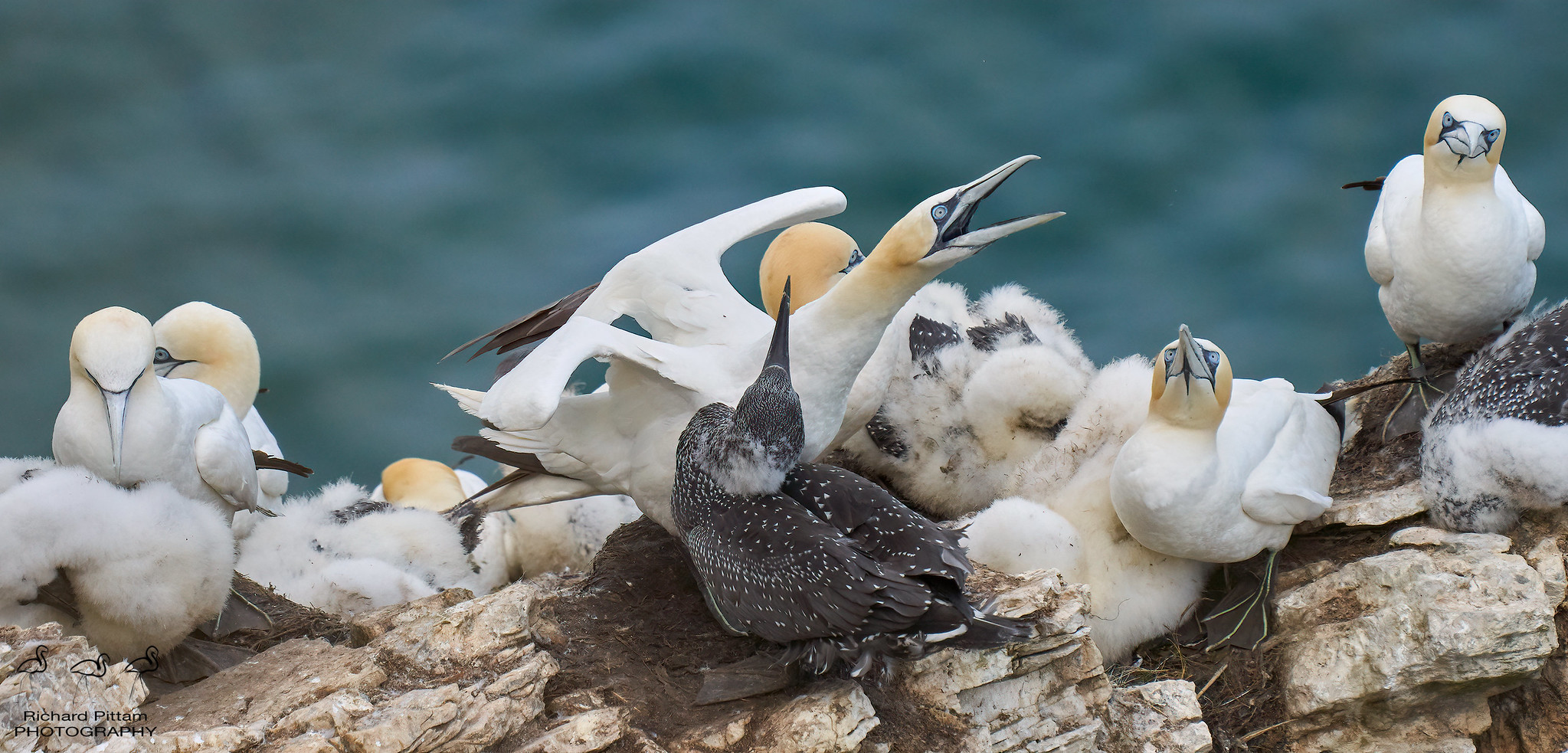 Gannets - life on the stack
