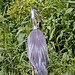 Flickr photo 'Great Blue Heron vs. Mouse on the La Chua Trail' by: Phil's 1stPix.