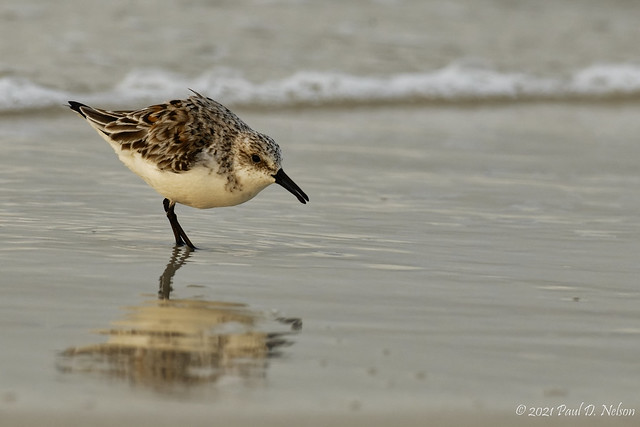 _PDN0070_Sanderling; Navarre Beach, Florida