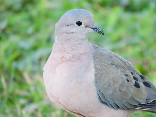 Avoante/Eared Dove