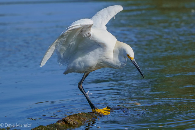 Snowy Egret appears to have regained his balance