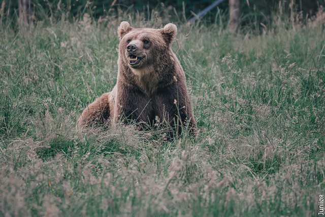 Brown bear ( Ours brun )