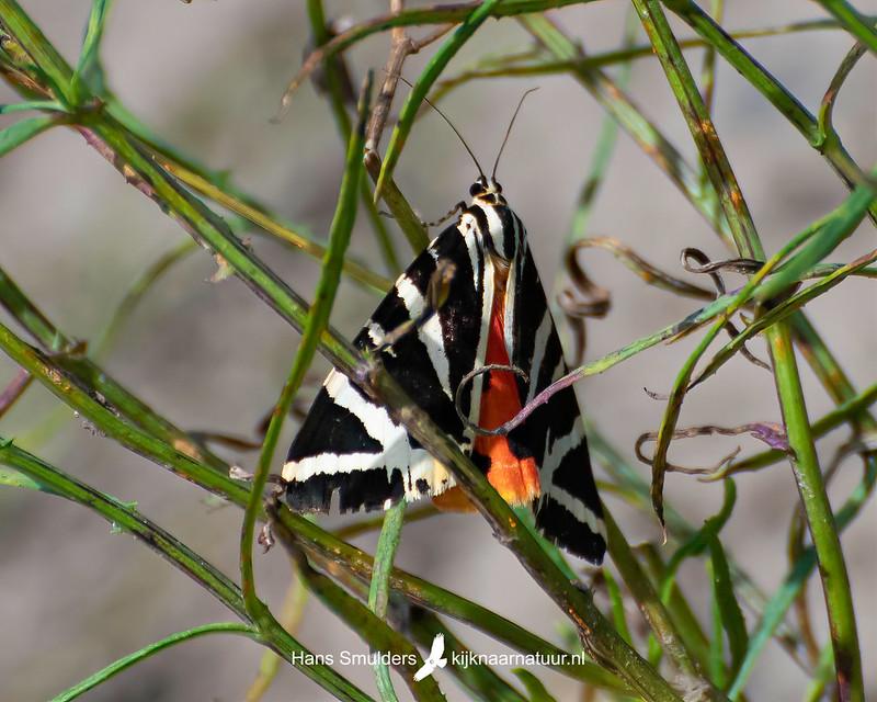 spaanse vlag (Euplagia quadripunctaria)-850_4870