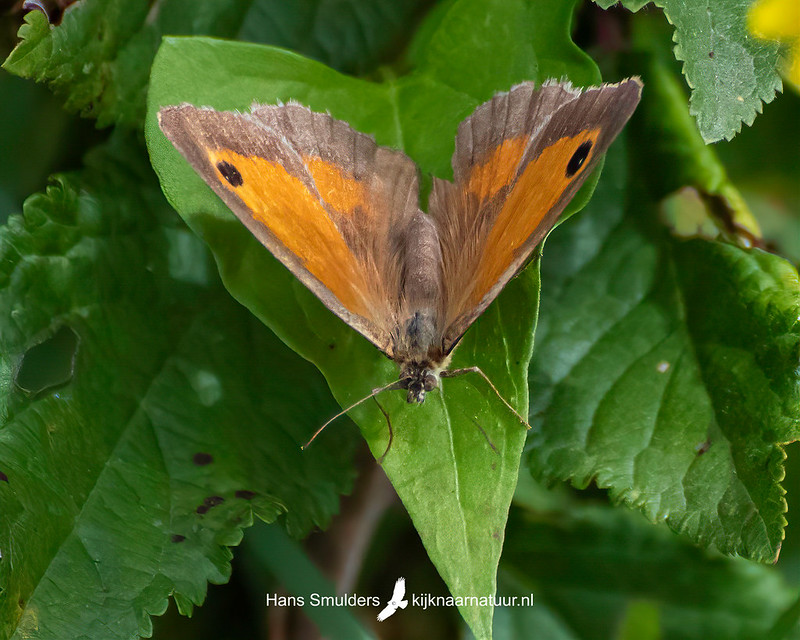Oranje zandoogje (Pyronia tithonus)-850_4877