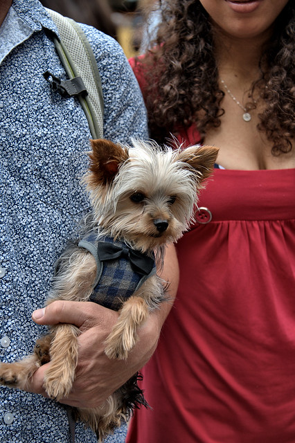 Small Dog With Bowtie