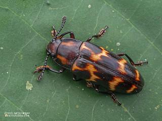 Pleasing fungus beetle (Megalodacne varia) - P7111034