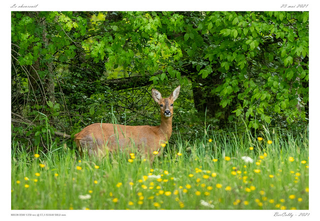 Le chevreuil | Roe deer