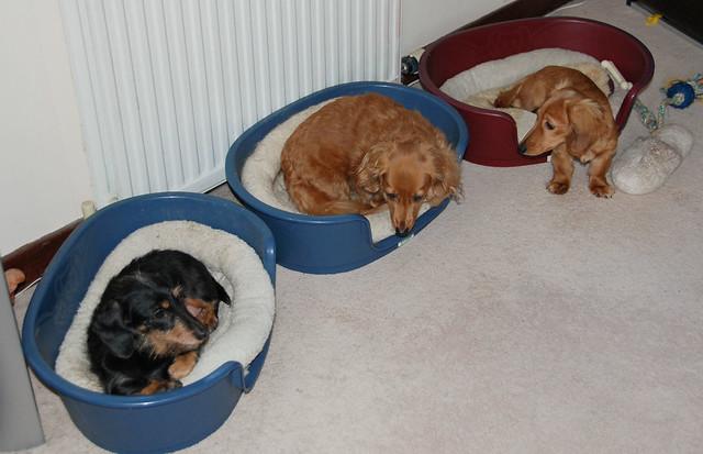 Three Miniature Dachshunds (Explored)