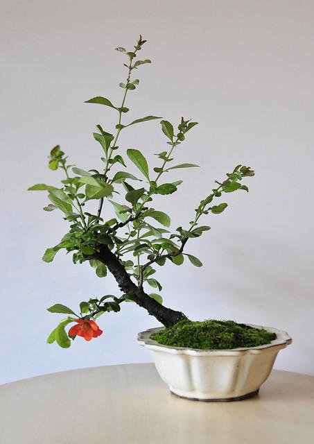 Japanese Flowering Quince Bonsai (Chaenomeles japonica) shohin size - First flower!