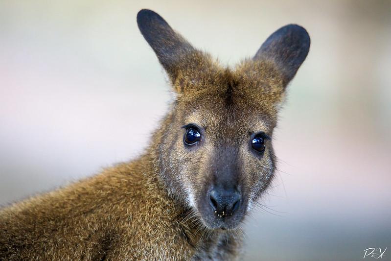 PiX  - Eric Gillard | Kangourou