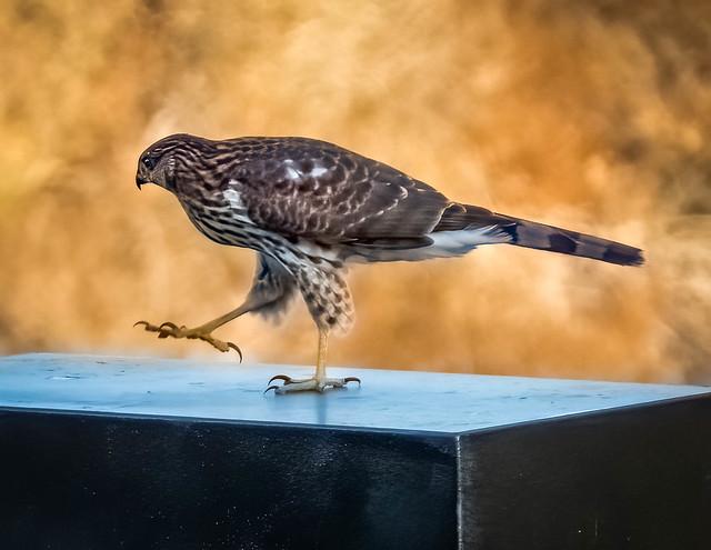 Juvenile Cooper's Hawk #2