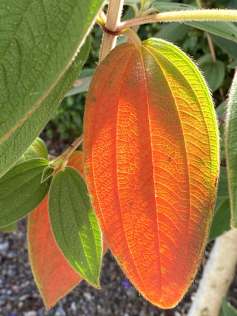 Ombre color in mature leaves.