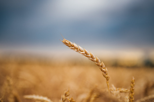 Wheat plant with blurry background