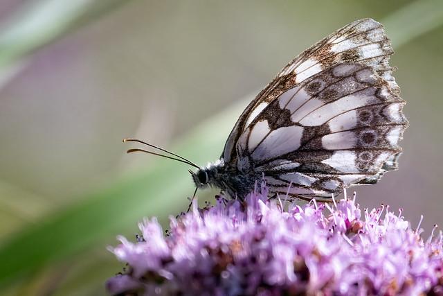 Butterfly (unidentified)