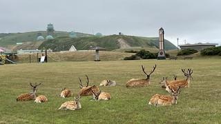ノシャップ公園の鹿