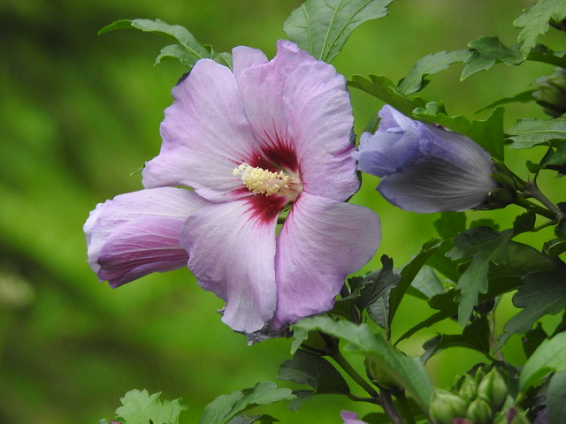 Purple hibiscus - a symbol of mystery