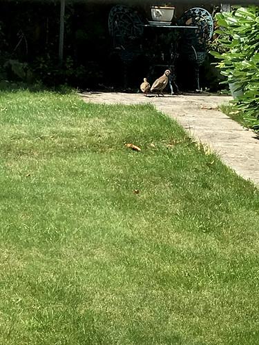 Partridge in my Garden