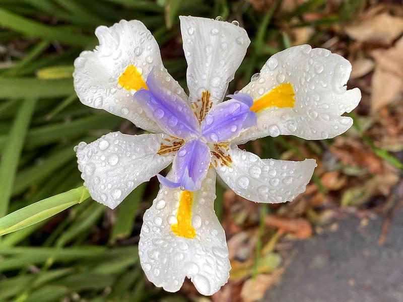 Rainy lily