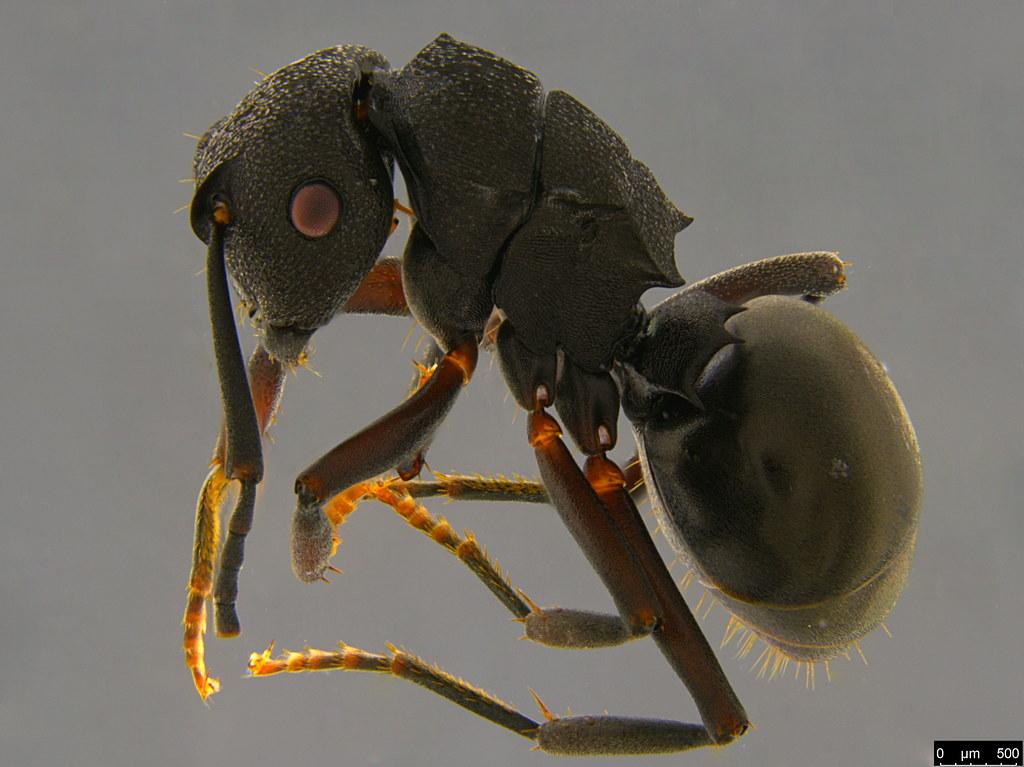 3 - Polyrhachis phryne Forel, 1907