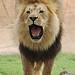 lions 13