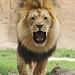 lions 12