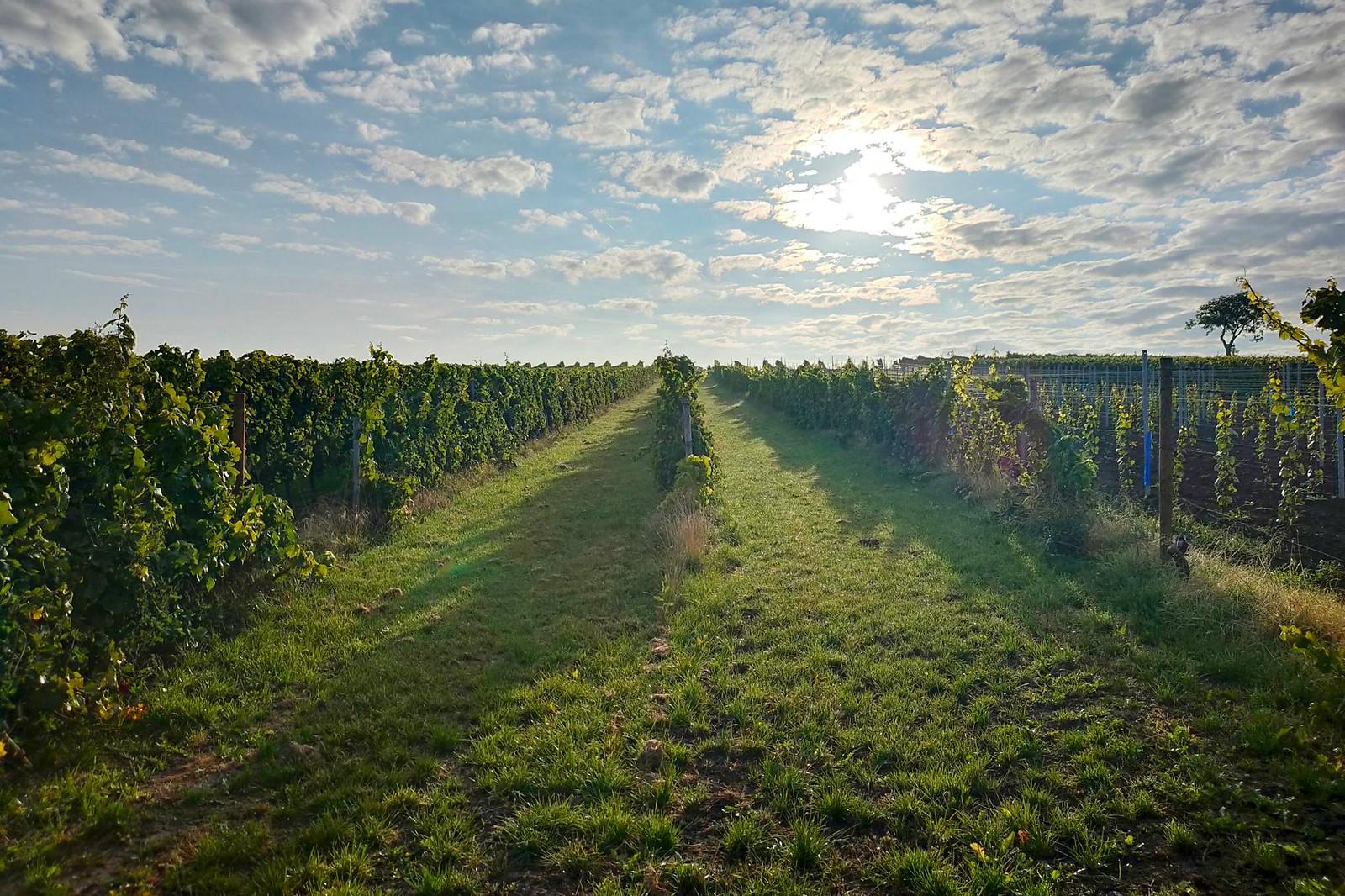 Morgenlauf in den Weinbergen am Selzbogen