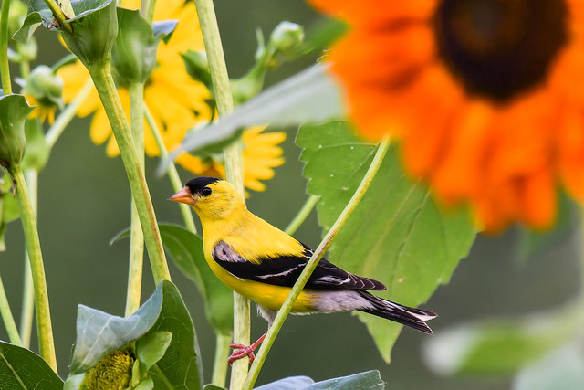 Male Goldfinch in the cup plants