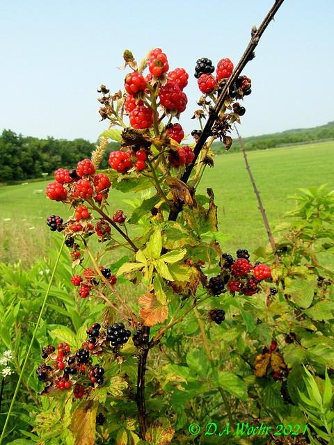 Allegheny Blackberries