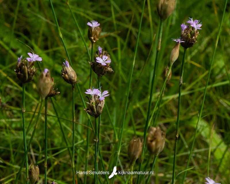 slanke mantelanjer (Petrorhagia prolifera)-850_4912