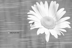 Daisy Fly Original Lighten 37 w wave background extra zoom 3972 K75_4012IN