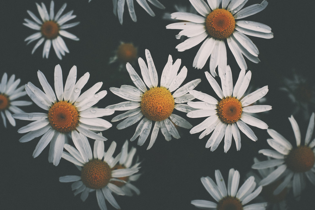 223/365 : Sweating with the daisies