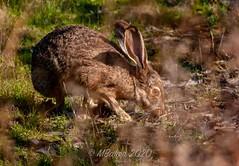 Shoreline-hare