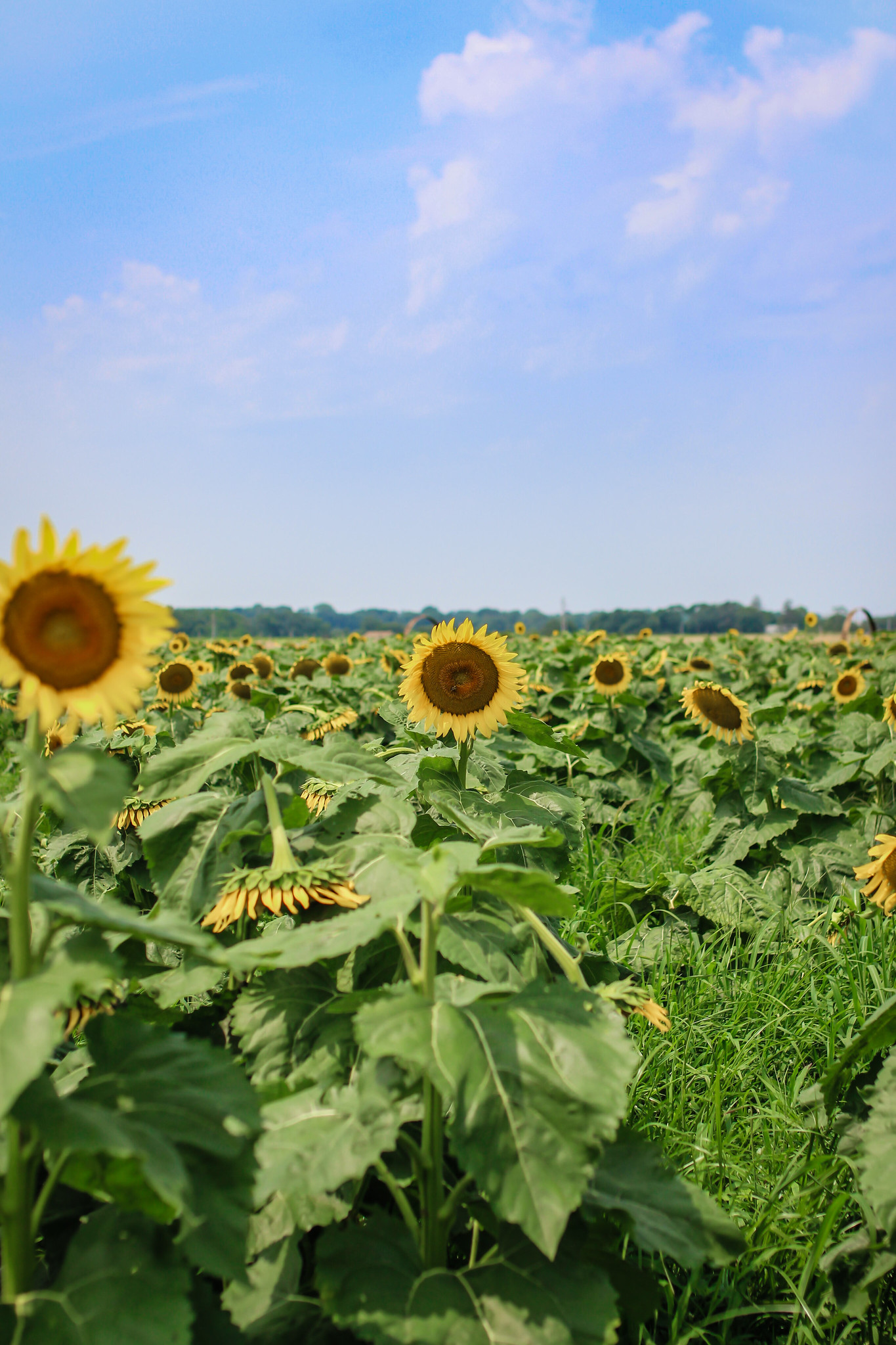 Why You Need to Visit a Sunflower Field this Year | Best Sunflower Fields to Visit in New York | Sunflower Fields in New York | Beautiful Sunflower Farms | Sunflower Farms Near NYC | Sunflower Field Aesthetic | Sunflower Landscape | Sunflower Aesthetic | Sunflower Season