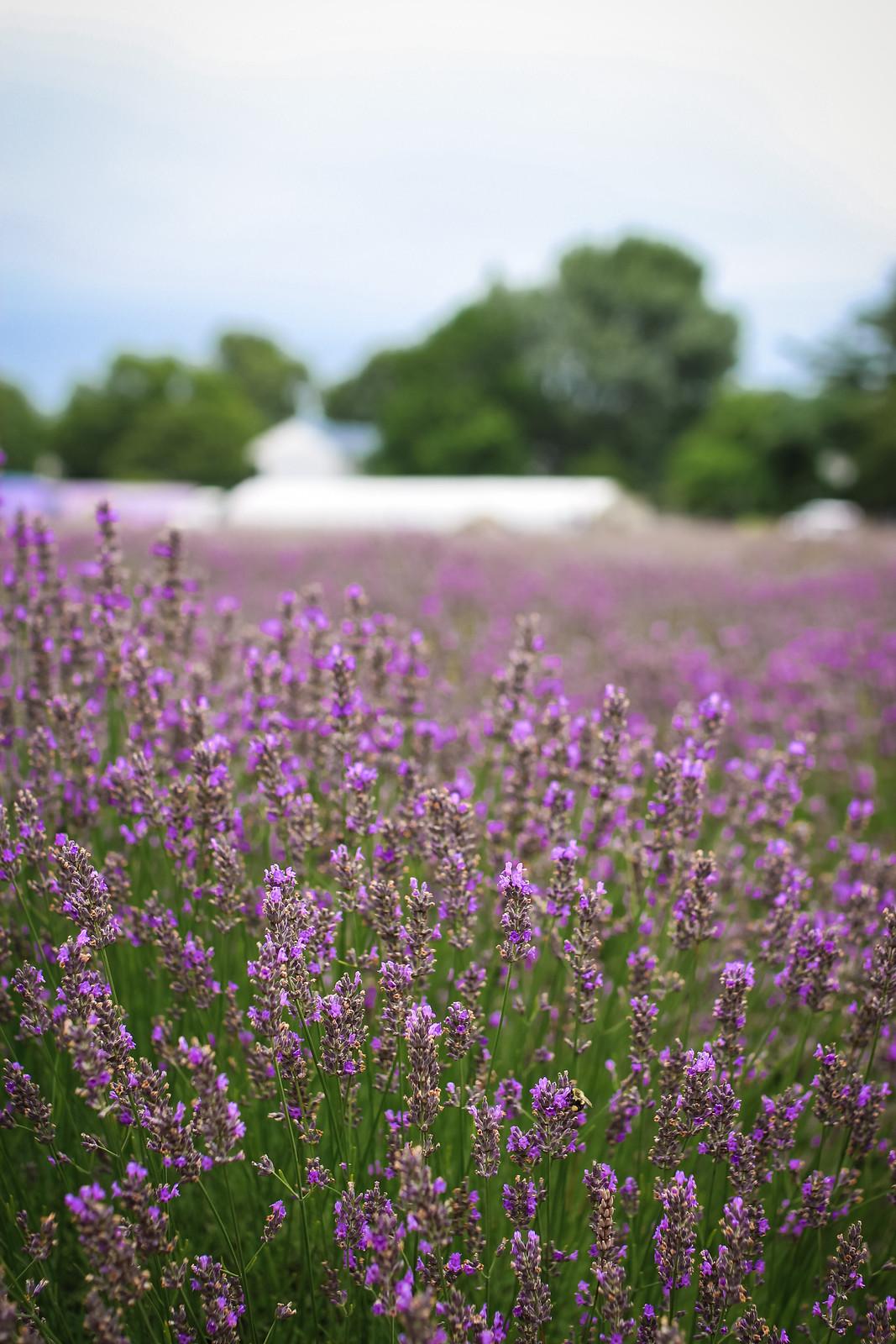Lavender Field Photo Shoot