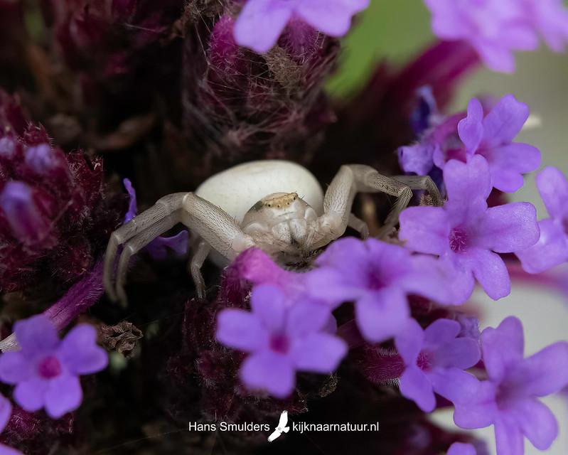Gewone kameleonspin (Misumena vatia)-850_4898