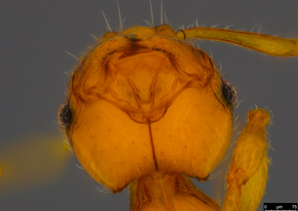 2c - Myrmicinae sp.