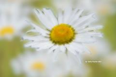 Daisy Original blur pixelate blend K75_4030IN