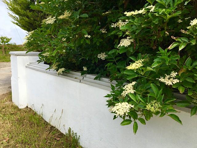 Wall to wall Elderflowers (Explored)