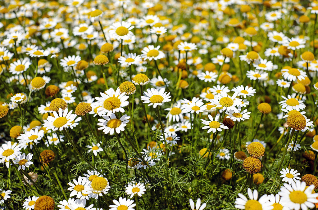 teapro-chamomile-flower