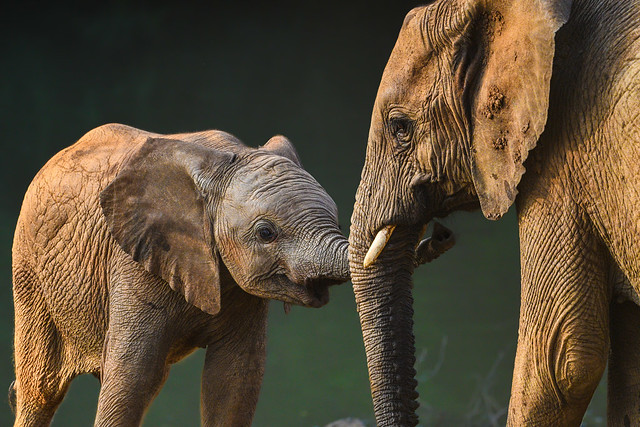 World Elephant Day 2021 ( 2 ) a tender moment