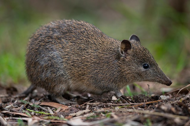 Southern Brown Bandicoot - Isoodon obesulus