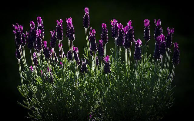 Lavendel i motljus - Lavender in backlight