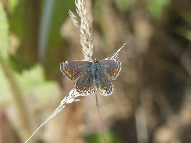 Common Blue P1980269