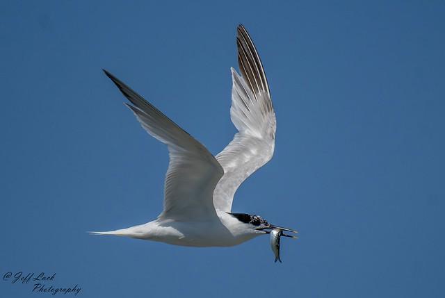 DSC2459 Sandwich Tern..