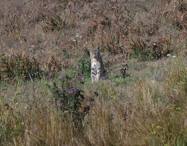 bobcat looking for breakfast