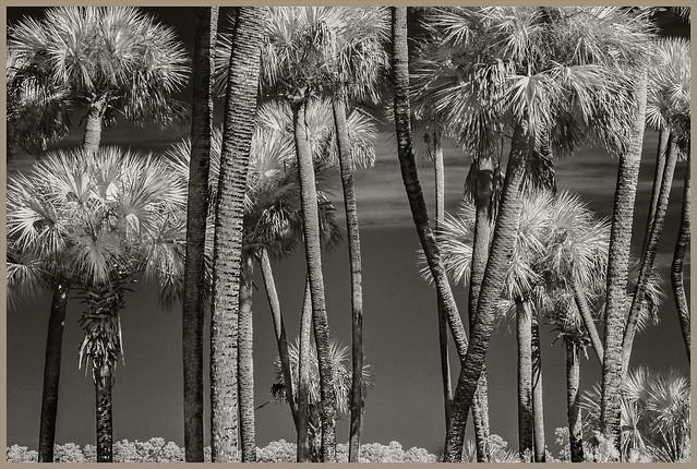 Lake Woodruff IR #73 2021; Palm Trunks